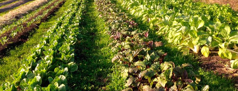 Légumes produit en permaculture